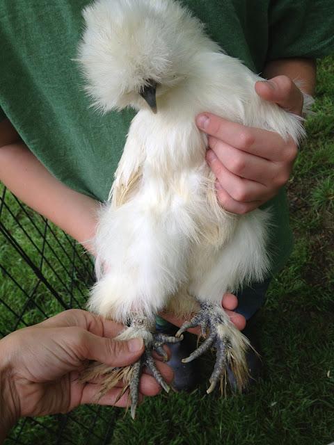 Murano Chicken Farm Clipping chicken nails