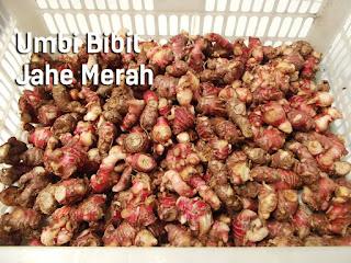 Jual Umbi-Rimpang Bibit Herbal Jahe Merah Segar Siap Tanam