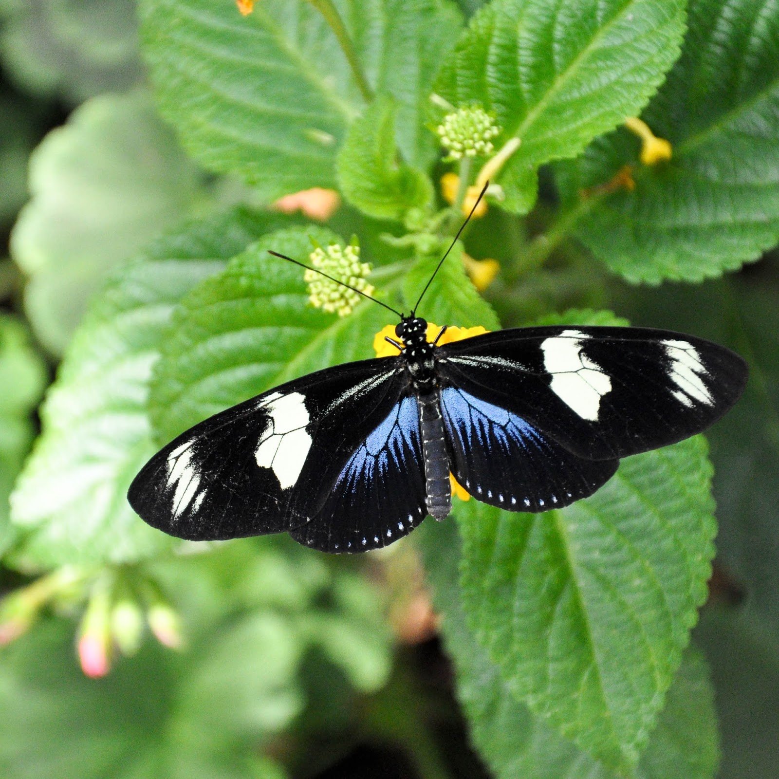 A black, white and blue butterfly, Tropical Butterfly House, The Butterfly World Project, St. Albans, Herts, UK