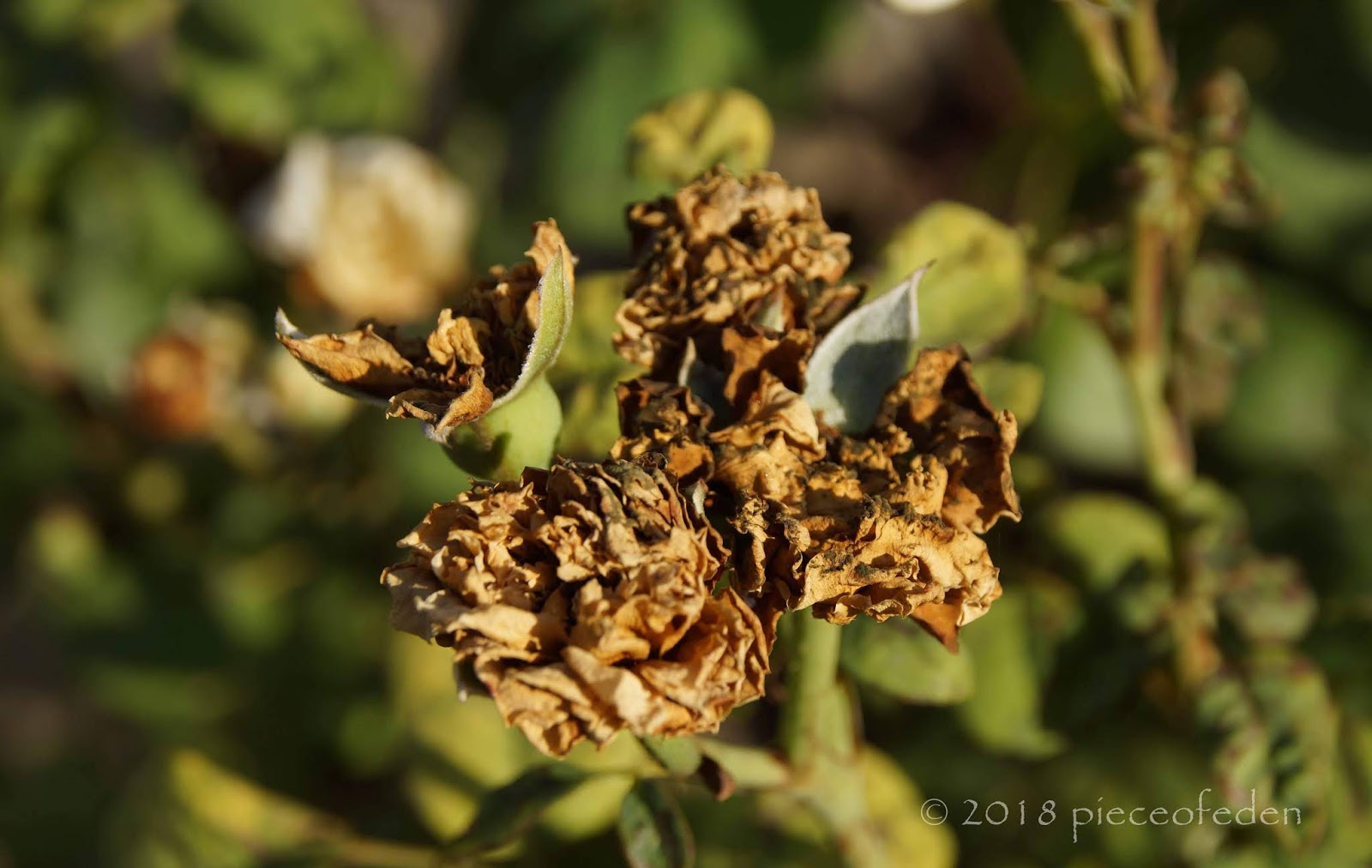 Chilli Thrips On Roses