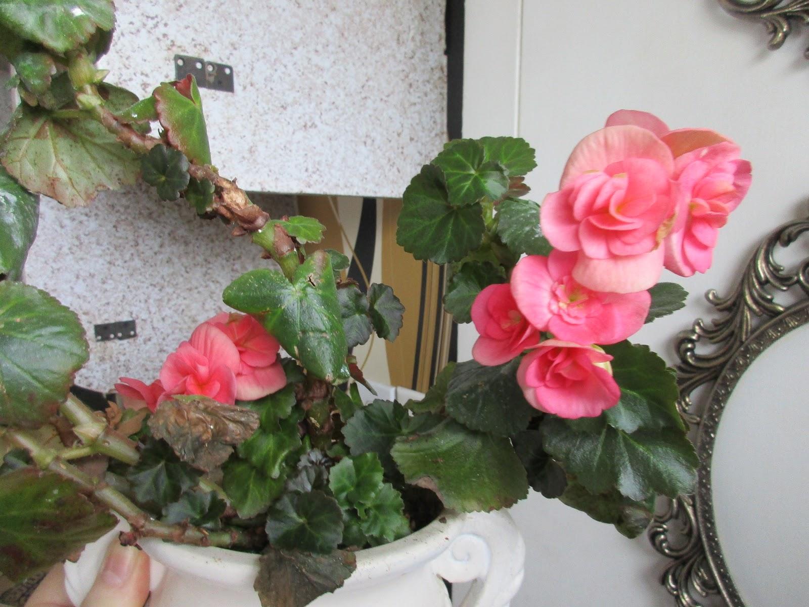 женские и мужские цветы бегонии фото образом