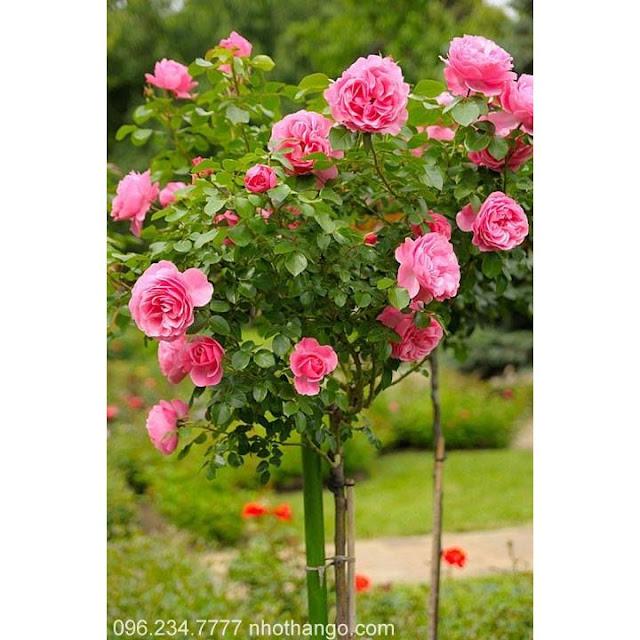 Nội, ngoại thất: Tree Rose- Hoa Hồng đẹp cho 1 diện tích khiêm tốn. Htg1