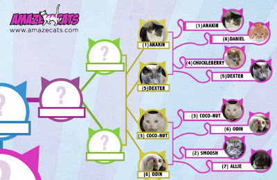Anakin in the Top 16 of AmazeCats Next Top Cat Contest