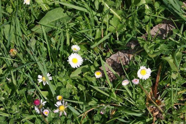 Margarita en flor en una zona del pasto