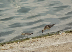 Dunlin and Ruff