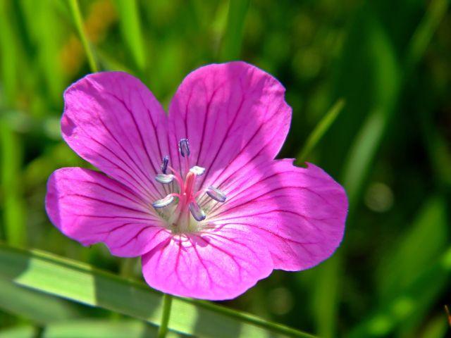 kwiaty polne, rośliny zielne