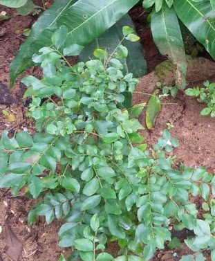 Curry Leaves (Kadi Patta) Can reduce the side effects of chemotherapy