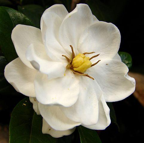 Fiori Gialli Gardenia.Il Fiore Piu Bello La Gardenia