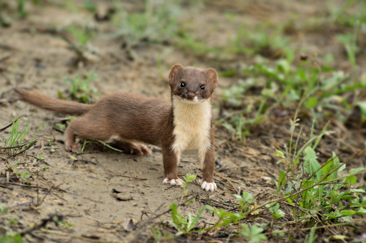 Italian Decorations For Home Paluffo S Blog Least Weasel Mustela Nivalis Seen Around Us