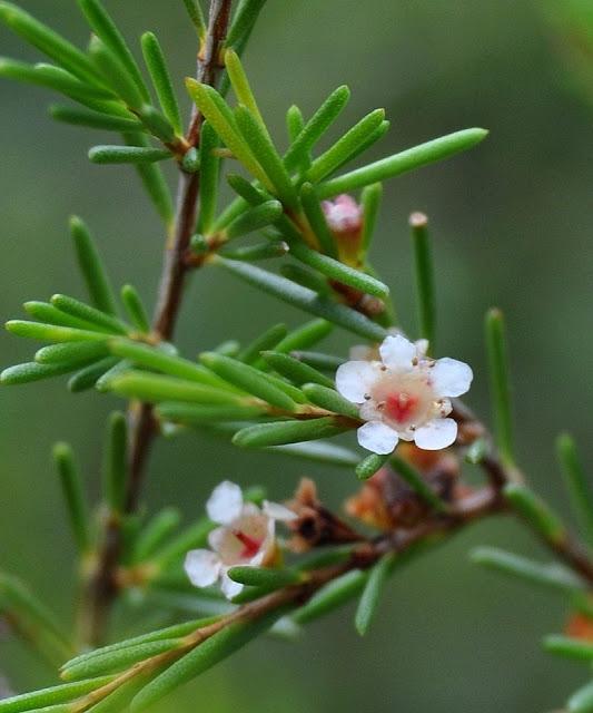 Hoa Cây Chổi Xuể (Chổi Sể) - Baeckea frutescens - Nguyên liệu làm thuốc Chữa Cảm Sốt