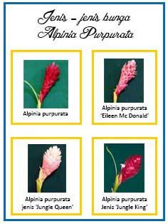 Bunga Potong Alpinia Purpurata