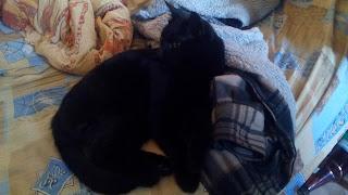 черный кот Пиксель