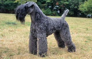 Everything about your Kerry Blue Terrier