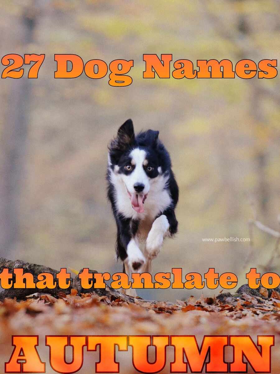 Dog names inspired by Fall | Border collie running in Autumn leaves.