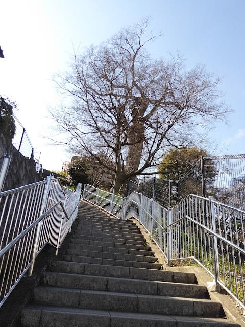 【大阪府指定天然記念物】枚方田中邸のムク