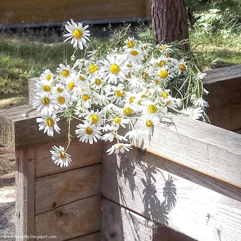 rumianek, kwiat polny, zioło, kwiat rumianku