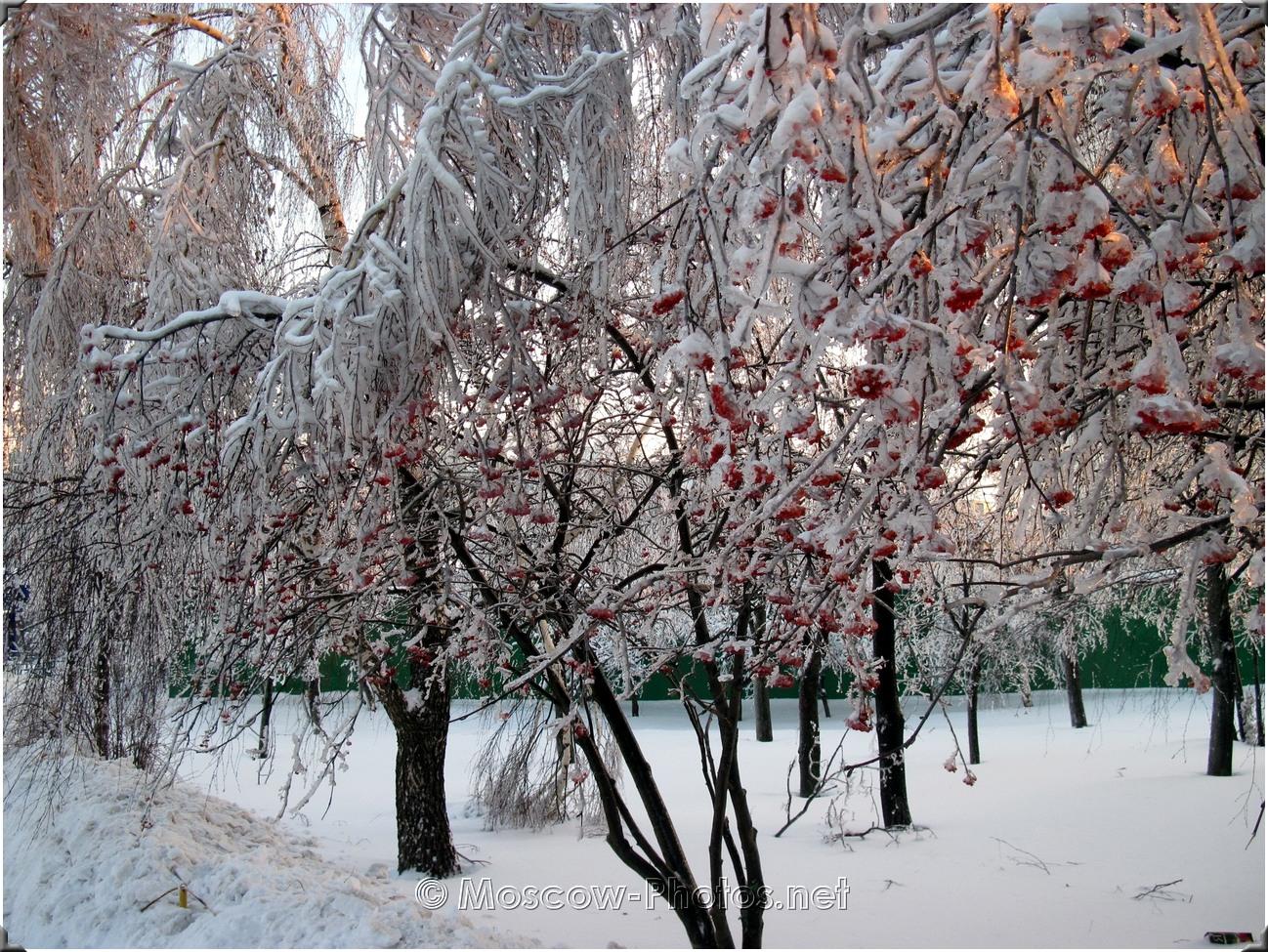 Rowan-tree in winter