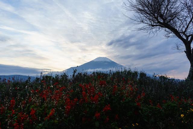 花壇越しの富士山~山中湖畔