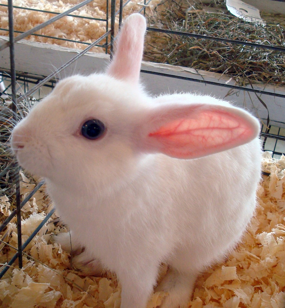 Watch How to Care for a Polish Rabbit video