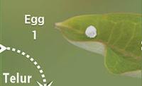 Fase Telur