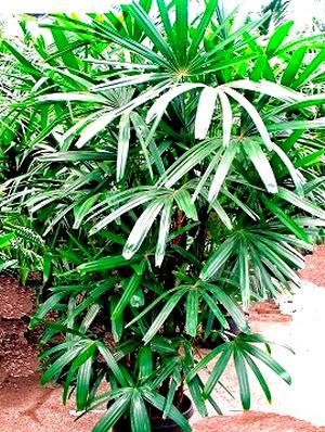 Air purifier Lady Palm Rhapis excelsa