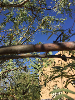 Submitted photo showing mesquite girdler damage