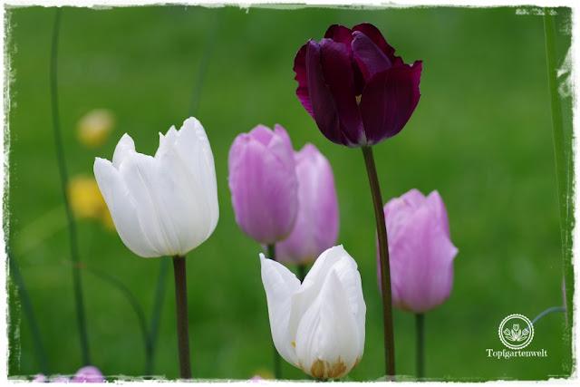 Gartenblog Topfgartenwelt Buchtipp Buchvorstellung Buchrezension: Gartenpraxis im Klimawandel von Lars Weigelt, Tulpen im Garten