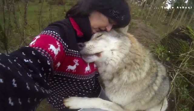 Amazing Moment Gray Wolf Greets A Wildlife Photographer With Kisses And Cuddles