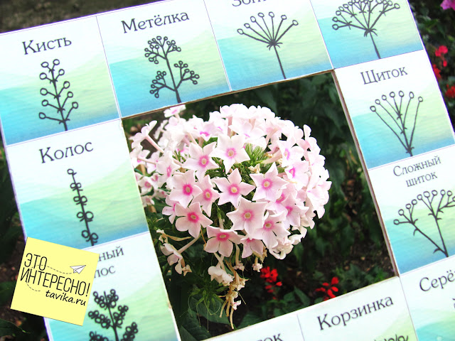 Рамка определитель соцветий. Скачать пособие