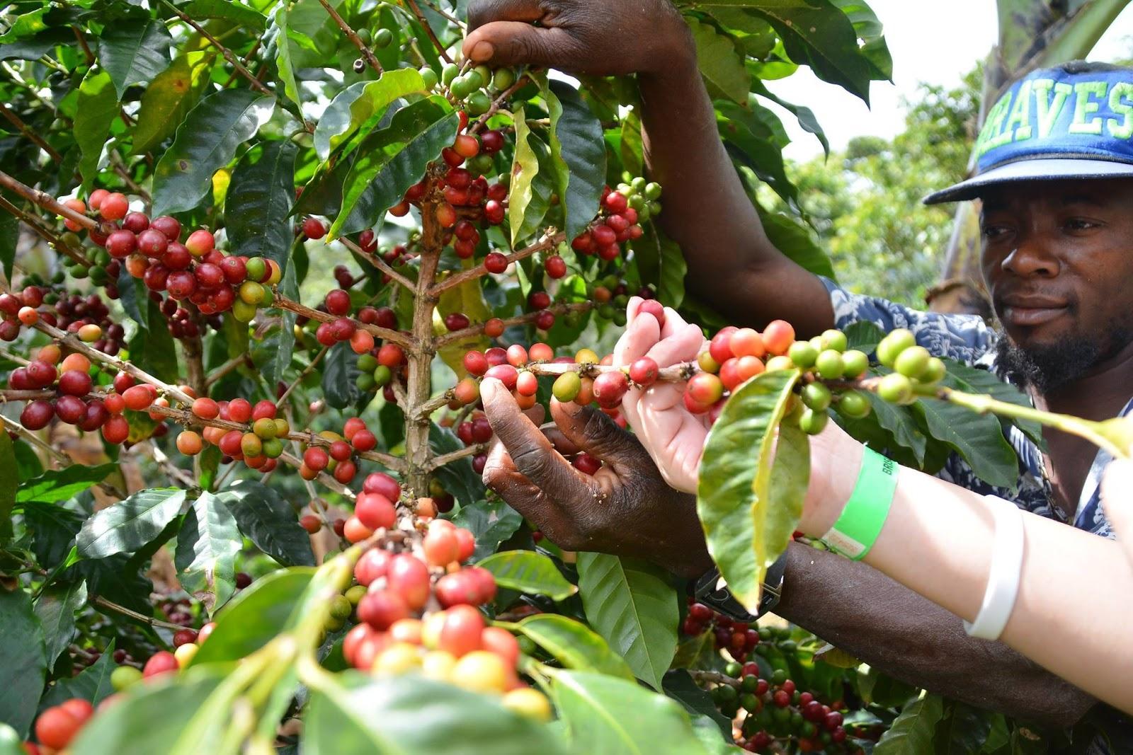 多明尼加有機咖啡產區之一Jarabacoa︱全球絲路有限公司提供