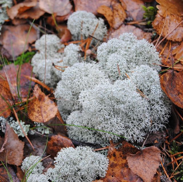 Cladonia stellata