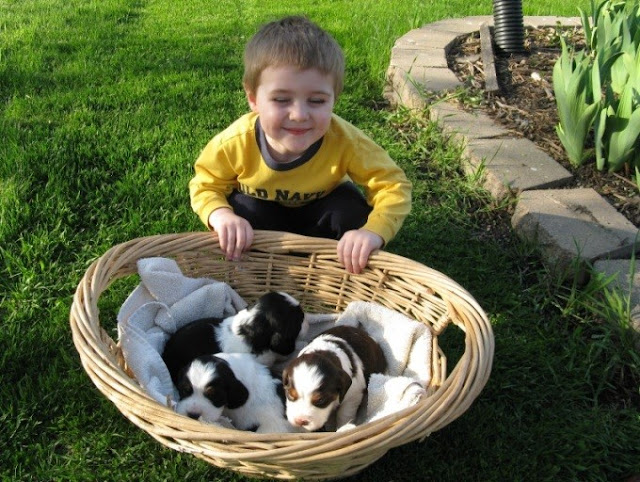 William and a basket of English Springer Spaniel puppies