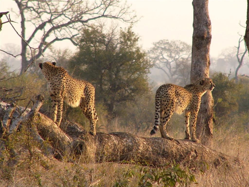 Beautiful Animals Safaris Safari Amazing Beautiful: Beautiful Animals Safaris: The Fastest Cheetah In The