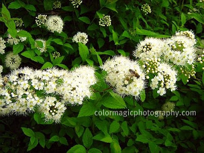 Flowering white spirea shrub