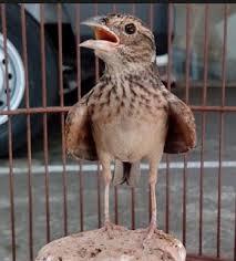Penangkaran Burung Branjangan - Kebersihan Kandang Burung Branjangan yang Harus Dijaga Agar Anakan Burung Branjangan Sehat