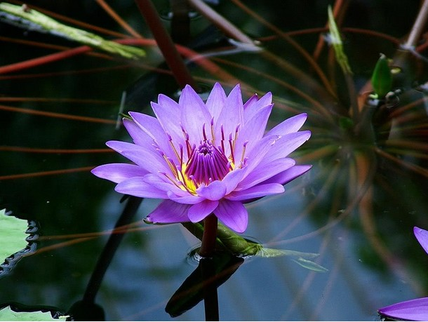 Purple-lotus-flower-Wallpaper