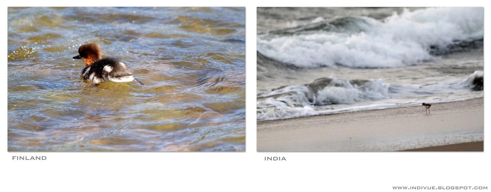 Suomalainen linnunpoikanen ja intialainen linnunpoikanen meren aalloissa