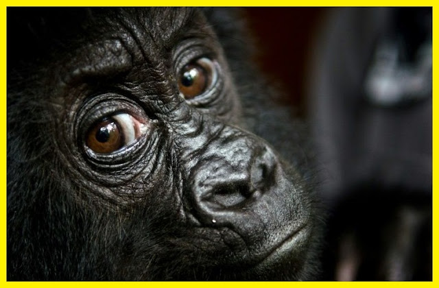 "Primates face mass extinction, Animals, Foxi news More than half the world's primates are on the verge of extinction, and they have their Homo sapiens cousins to blame. A landmark new study reveals that farming, hunting, mining, and other human activities threaten to wipe out chimps, lemurs, bonobos, and orangutans, to name just a few. Tracking all 504 species from Madagascar's tiny mouse lemur to the 450-pound eastern lowland gorilla of the Democratic Republic of Congo a global research team found that 75 percent are currently in decline and 60 percent face imminent extinction. ""This truly is the 11th hour for many of these creatures,""primatologist Paul Garber tells USA Today. Amid rising global demand for natural resources and food, primate forests are being converted into cattle ranches, soybean fields, rice paddies, and palm oil plantations. Bushmeat has become a key source of food and income for impoverished communities near primate habitats, while primate body parts believed to have healing powers are also being sold on black markets in Asia. If steps aren't taken to mitigate habitat loss, climate change, and illegal wildlife trade, these mammals will begin to disappear over the next 25 years, researchers warn. They say conservation efforts should focus on Brazil, Madagascar, Indonesia, and Congo; these four countries are home to two-thirds of all primate species. ""Governments, nongovernmental organizations, corporations, and citizens have to come together to change business as usual,""  Garber says. ""Now is the moment."""