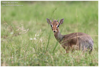 https://bioclicetphotos.blogspot.fr/search/label/Dik-dik