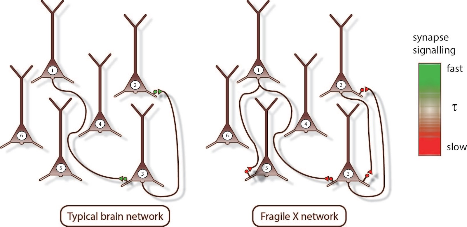 medium resolution of diagram of synapses in typical and fragile x brain networks