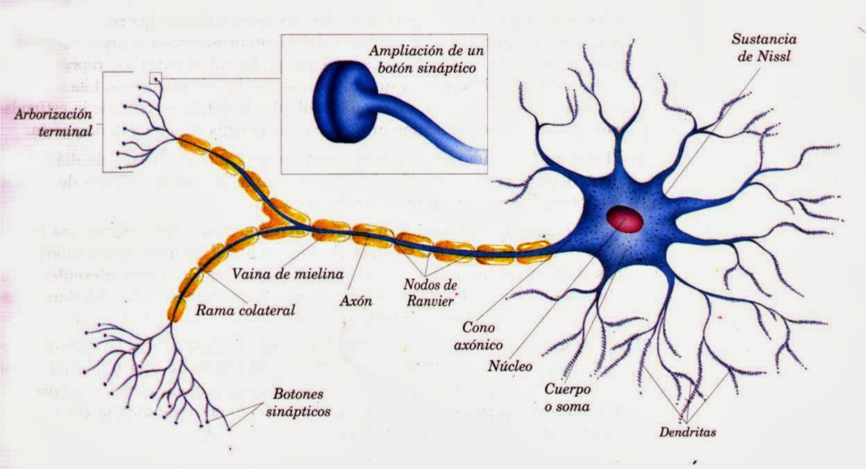 Características tejido nervioso