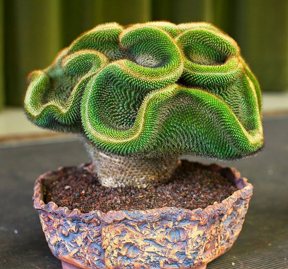 Suculentas da t echeveria setosa forma cristata for Nombres de cactus