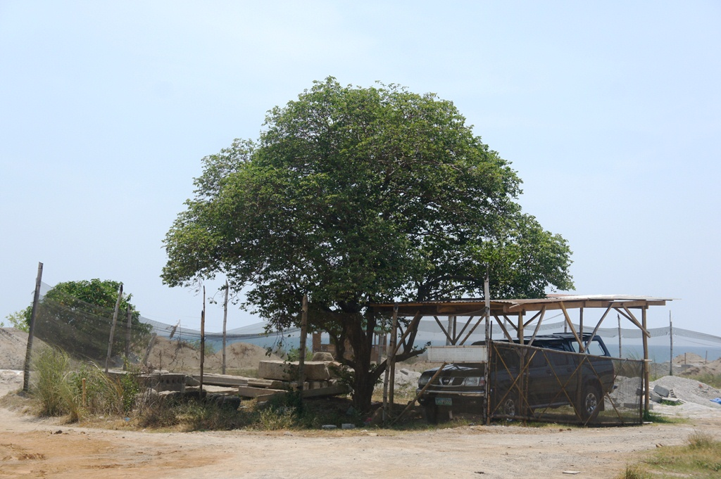 Our Philippine Trees Prolific Lanete
