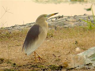 Indian Pond-Heron