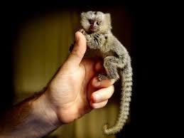 ما سبب تسميته بقرد القشه