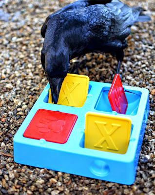 Dog food puzzle toys can be used for ravens