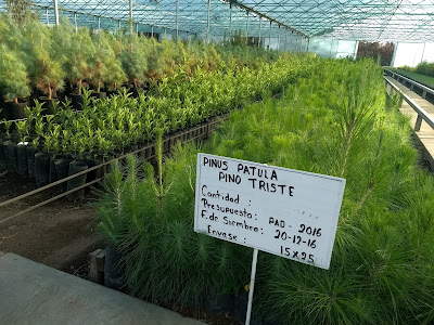 reforestation Mexico State Pro-Bosque ecological restoration trees nursery pinus patula