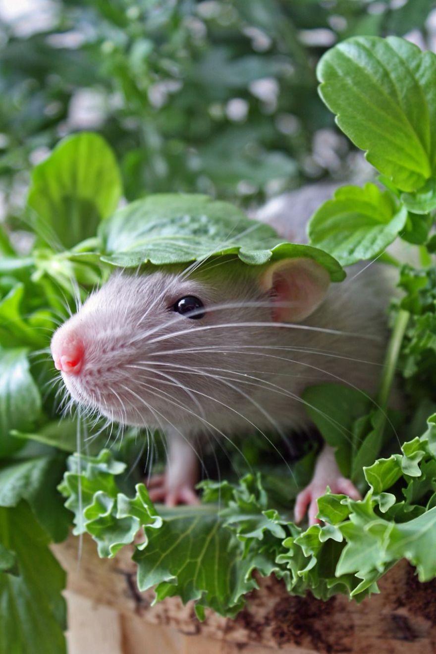 cute-pet-rats-12