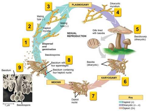 3 Macam Klasifikasi Fungi (Jamur) Berdasarkan Cara Reproduksi