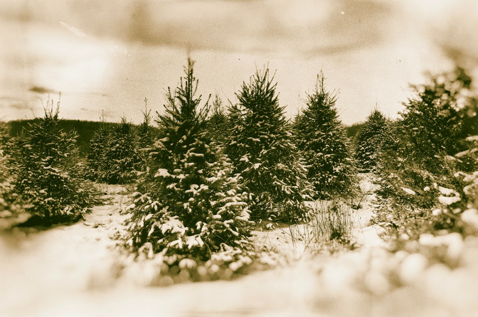 HL Supply Blog: Tips For Cutting Your Own Christmas Tree